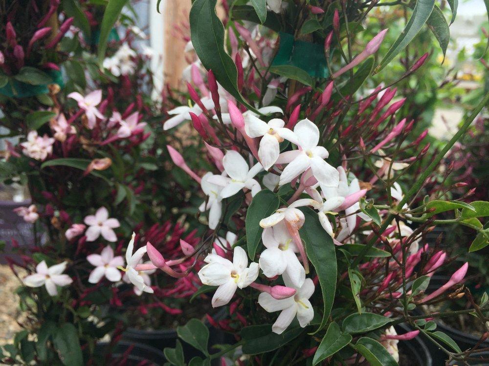 Jasminum polyanthum 'Pepita'