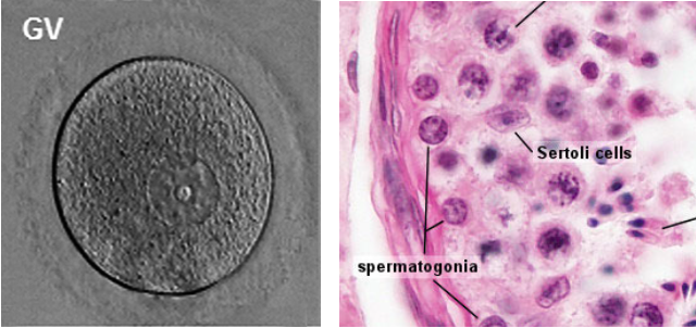 Egg (left) and sperm (right, as spermatogonia, the progenitors of sperm) contain the complex multi-layered molecular code for building a new human. Their heritable content is multi-layered and not limited to the DNA sequence. (Images from Embryology Education and Research website  embryology.med.unsw.edu.au/embryology )