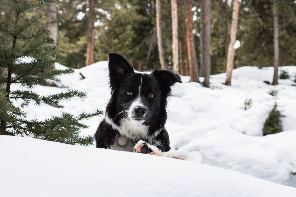Zukini pauses for a moment with his newly found favorite stick on the Ousel Falls Trail in Big Sky. All dogs will require a working collar (no shock collars please) and leash upon pick up!