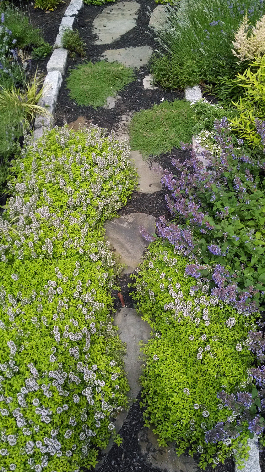 Thyme as ground cover along stepping stone path