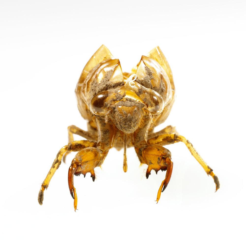 Cicada_2.jpg