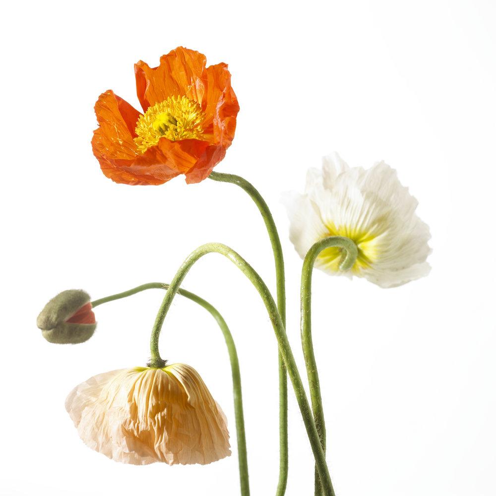 Egyptian poppies-017.jpg