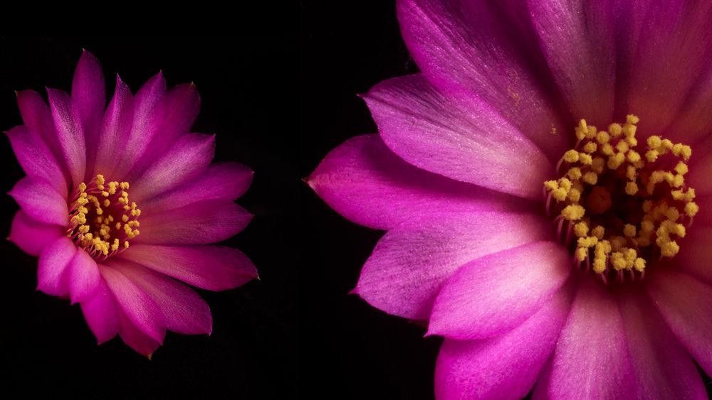 see_cactusflower_0NEEDLARGER.jpg