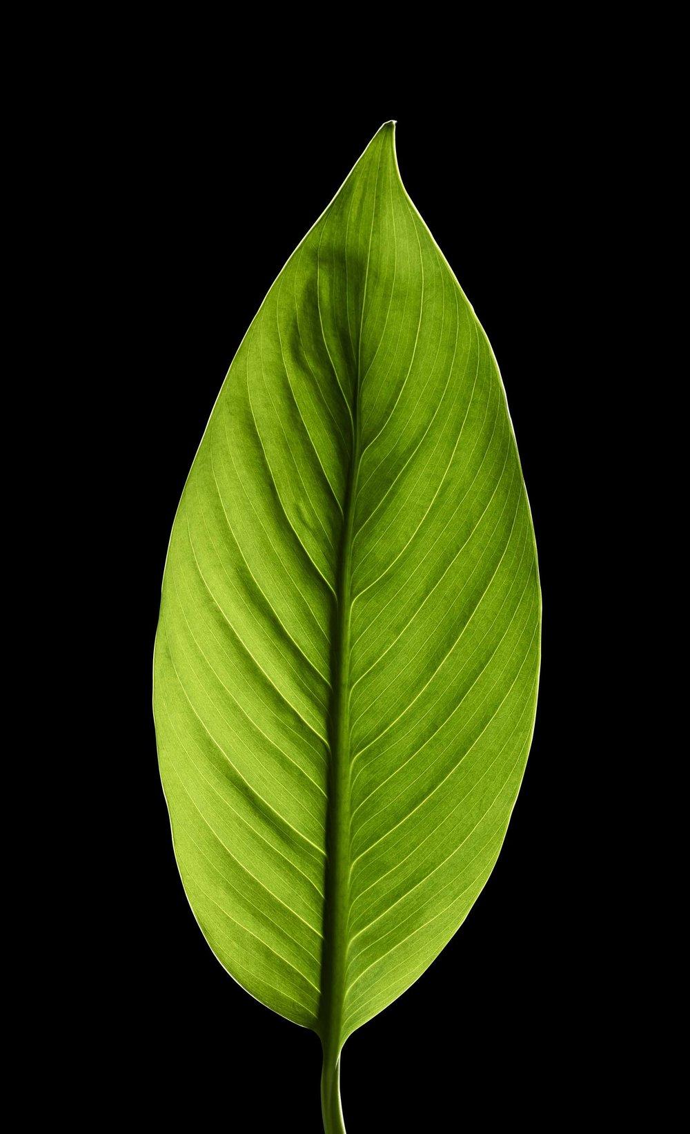 Filler_Leaf_Shot_89_Pathed_2791.jpg
