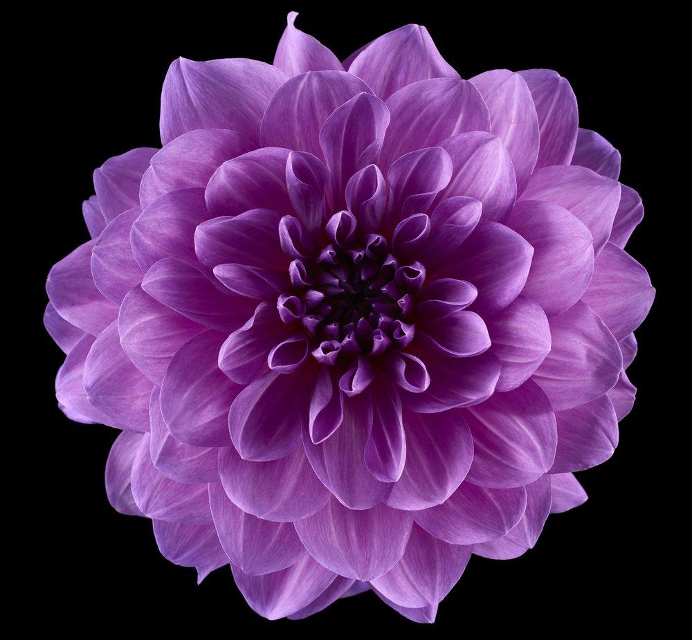 Purple_Purple_Dahlia_Shot_51_Pathed_2455.jpg