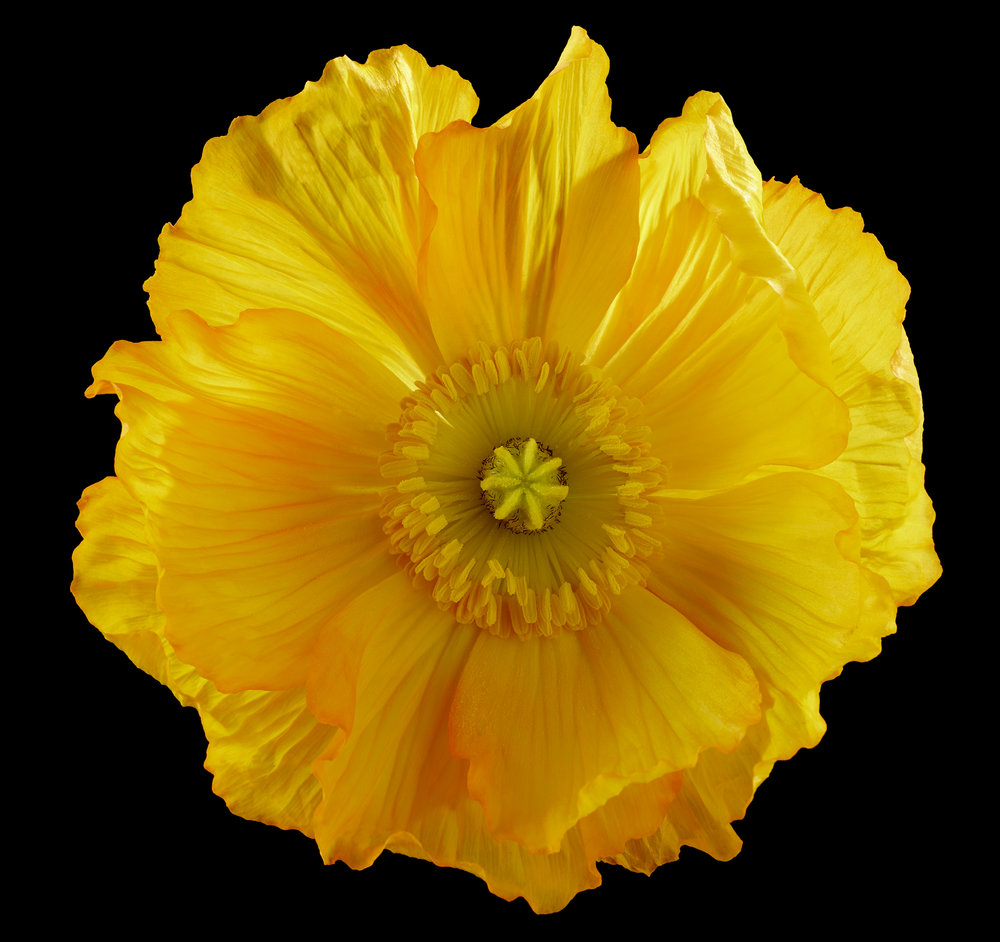 Yellow_Orange_Poppy_Shot_66_Pathed_68.jpg