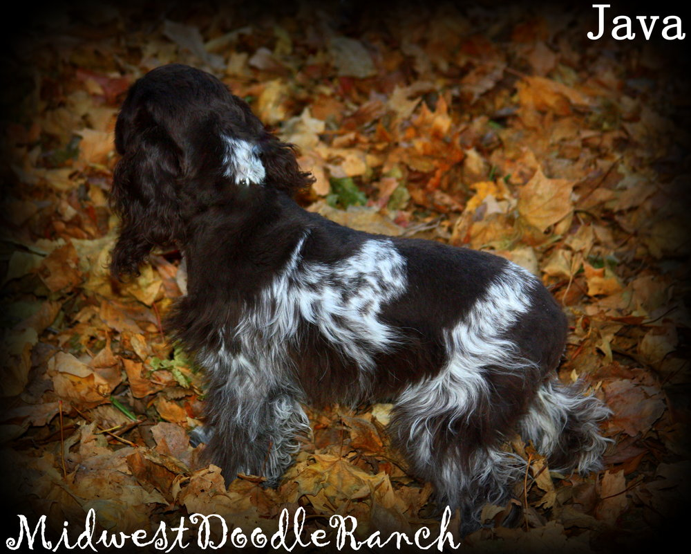 Cocker Spaniel Female Java