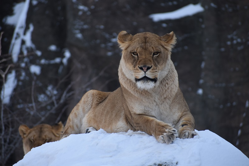 She can roar your face off: the Durango's animal equivalent. (Photo by Marisa Bennett for Unsplash)