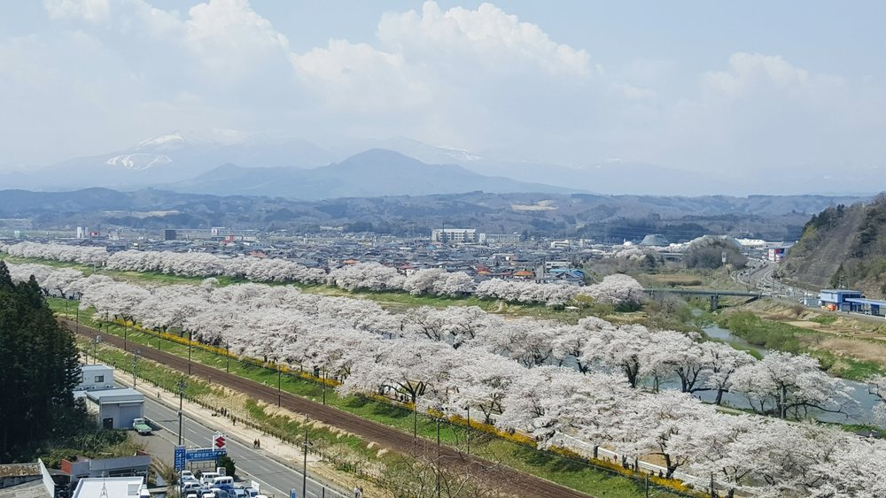 Approximately one thousand cherry blossom trees along the river