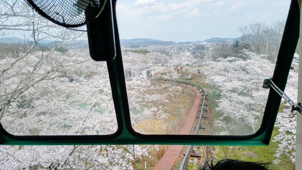 Cherry blossom trees along the 10-min tram ride uphill