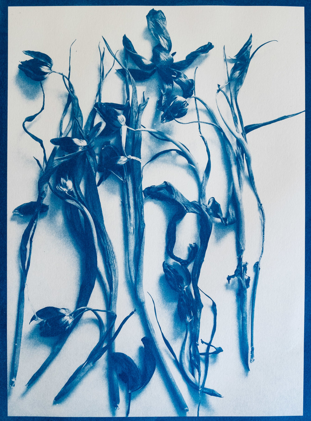Tulipomania - Cyanotype #flowers #tulips #cyanotype