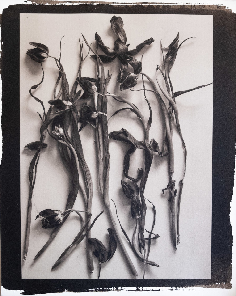 Tulipomania - Platinum Print #flowers #tulips #platinumprint