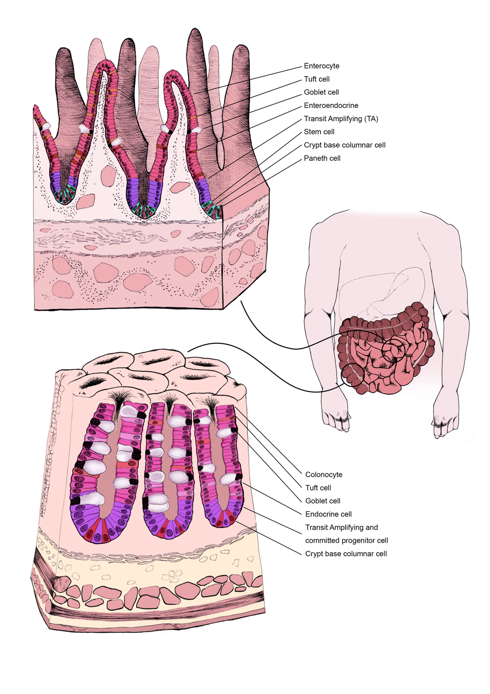 Figure 1: the structure and cellular composition of the small and large intestine.