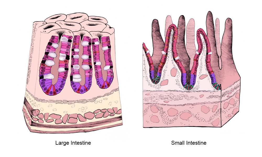 Detail: sections of the small and large intestine showing cellular makeup.