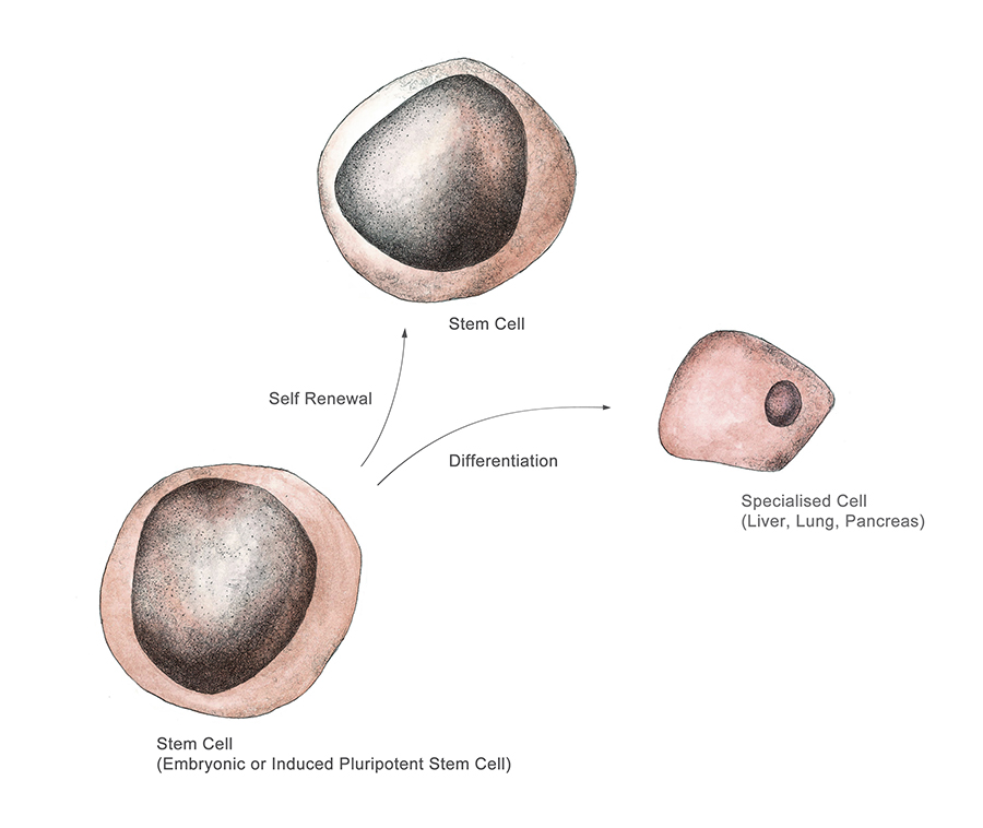 Figure 1: A pluripotent stem cell giving rise to more of its stem cell line, and creating differentiated hepatocyte (liver) cells