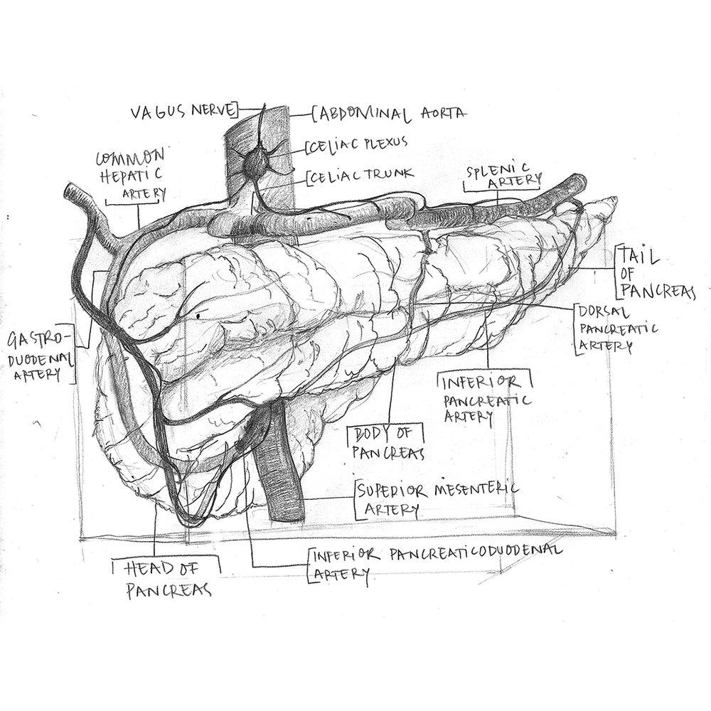Pancreas-Sketch.jpg