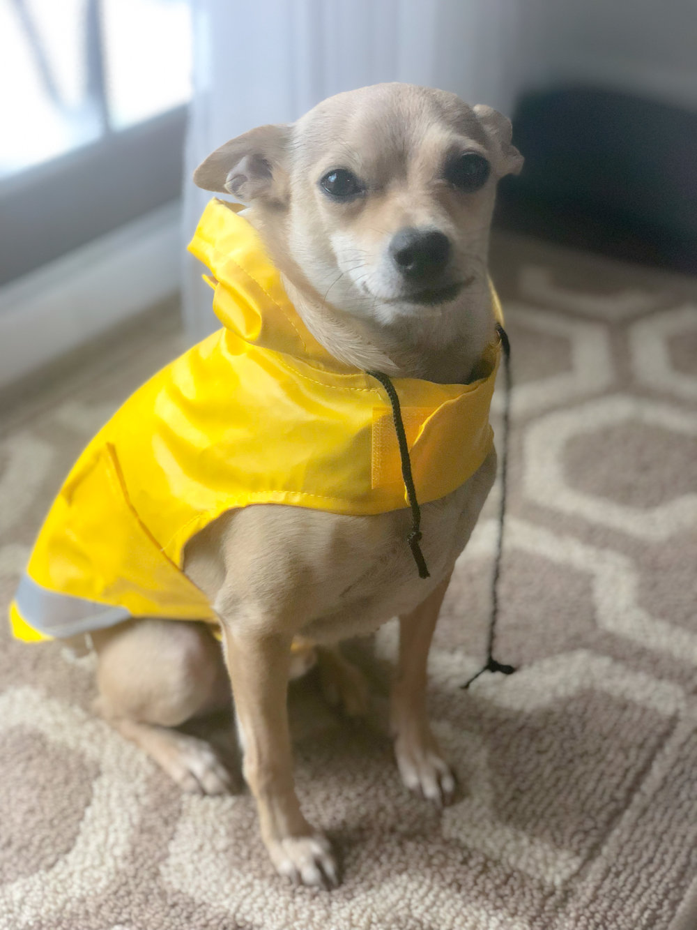 Cooper is ready to go outside in April showers!   This dog coat fits him perfectly.  He usually wears a Medium (believe it or not) in clothes, but we sized down to a Small in this rain coat.  Cooper is less than 15 pounds, has skinny legs, with a large chest, round ribcage, and a long body, leading to the medium for a comfortable fit.  Depending on the outfit, he sometimes can squeeze into a small!