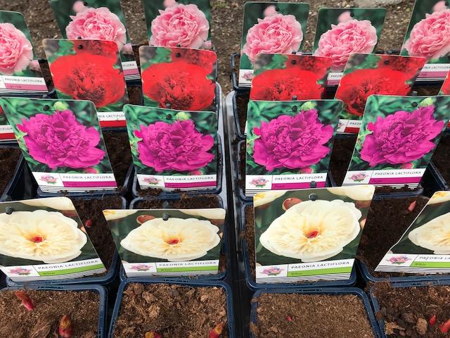 Paeonia lactiflora (illatos bazsarózsa)