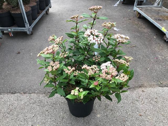 Viburnum tinus 'Eve Price' (örökzöld bangita)
