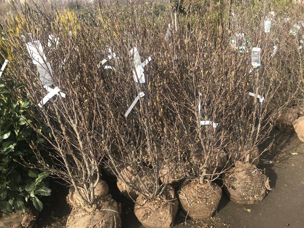 Magnolia (Magnólia) fajták