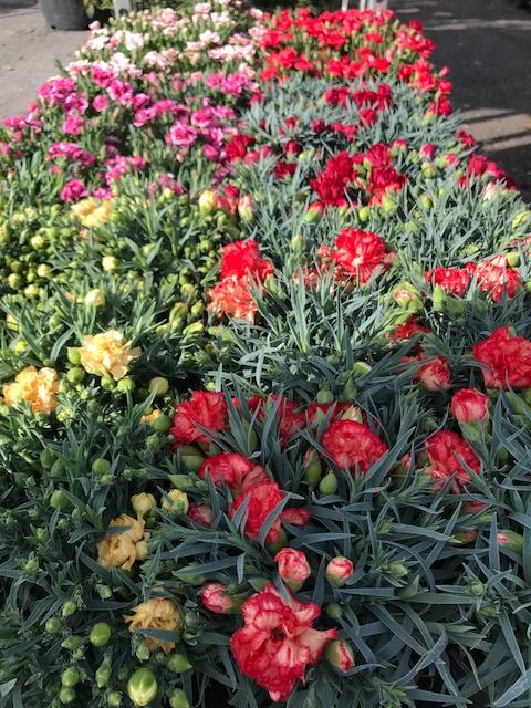 Dianthus sp. (szegfű fajták)