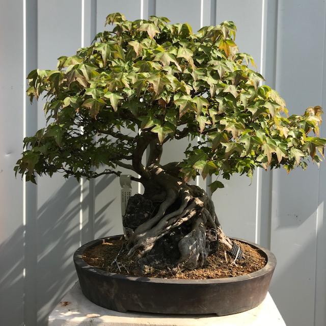 Acer bourgerianum