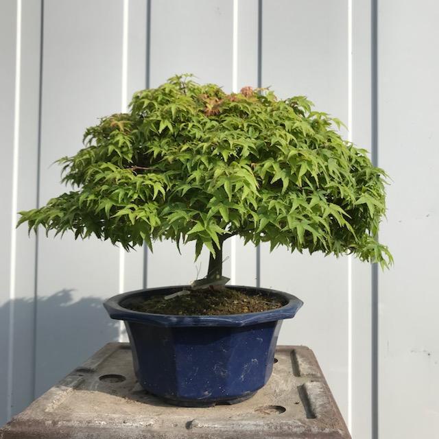 Acer palmatum var. palmatum