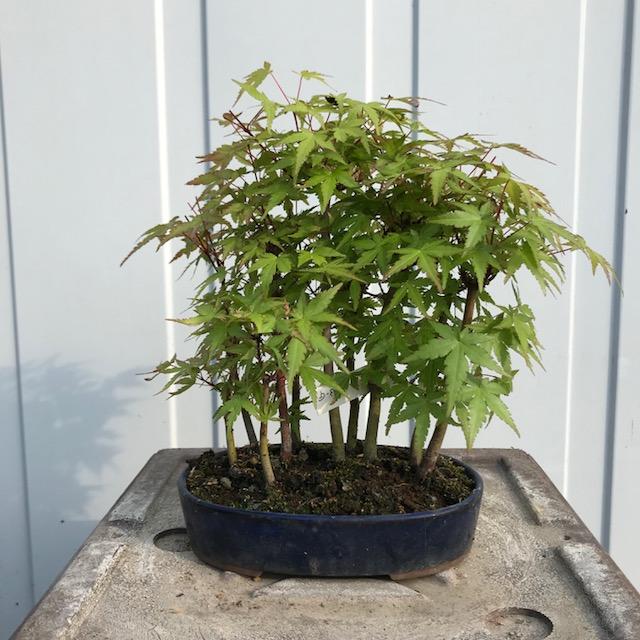 Acer palmatum 'Yama'