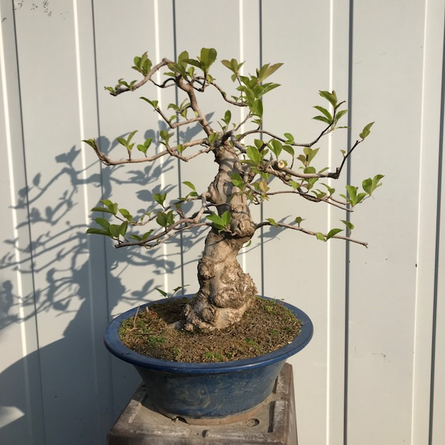 Magnolia 'Susan'