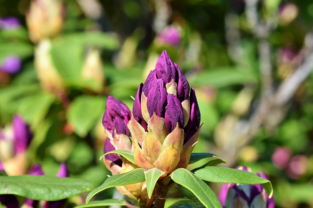 rhododendron-3415303_640.jpg