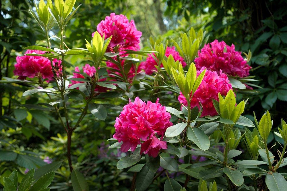 rhododendron-2766225_1920.jpg