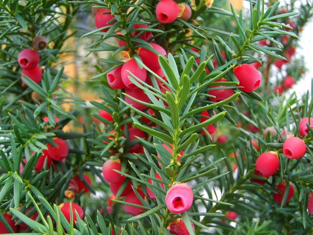 yew-tree-fruit-971456_1920.jpg
