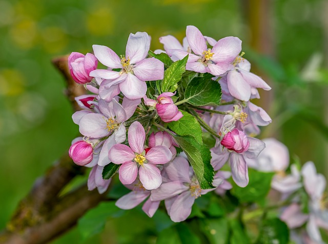 apple-blossom-3353039_640.jpg