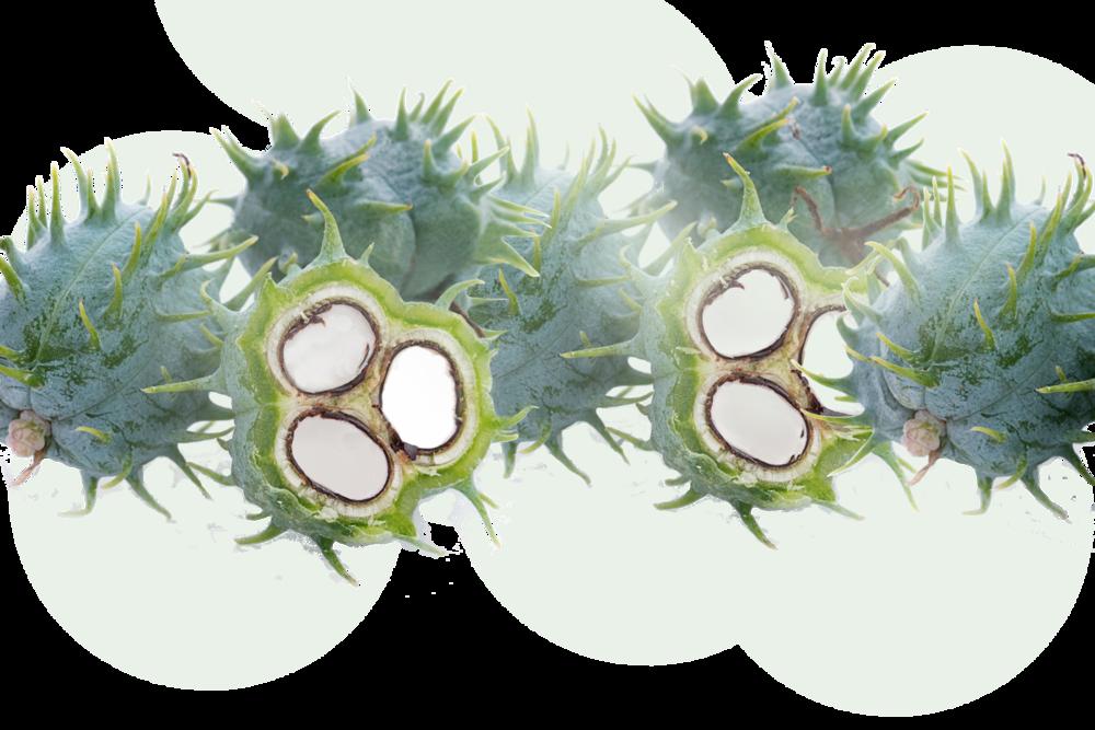 castor bean long image.png