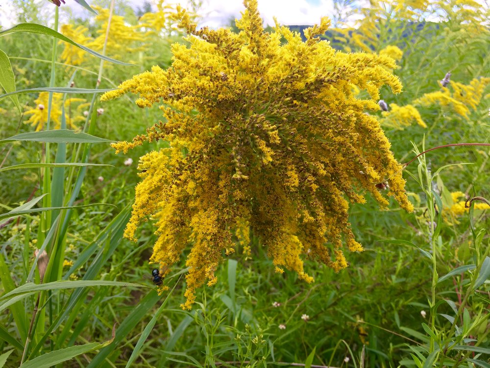 Goldenrod is an important pollinator plant, especially for newly-hatched monarchs. It is also medicinal, and can be used as an herb in brewing and cooking.