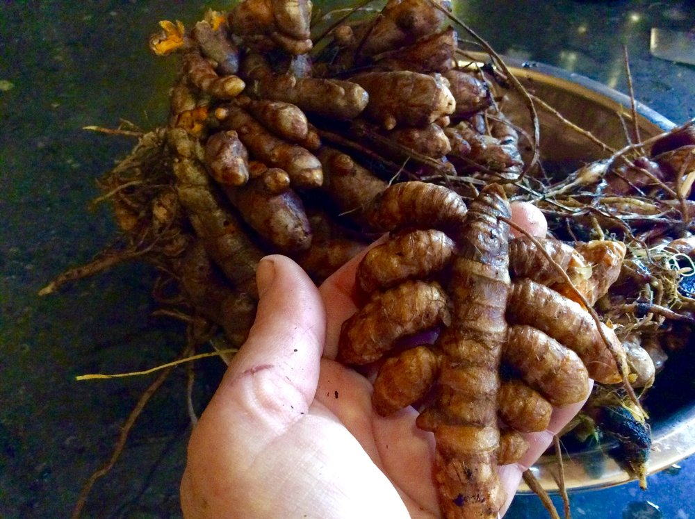 -      Hawaiian red turmeric grown in pots at SHO