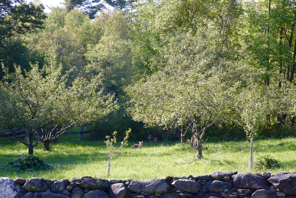 Coyotes in the apple and blueberry orchard at SHO Farm