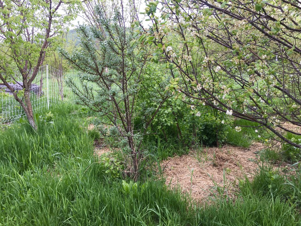 The ducks will venture into the orchard to browse on greens and trample the grasses. Mulch piles help younger shrubs and trees out-compete the grasses. Non-uniform/polyculture plantings like this mimic forest overstory and understory. Plum, goumi, seaberry, cherry princepia, hazelnut, comfrey, elderberry.
