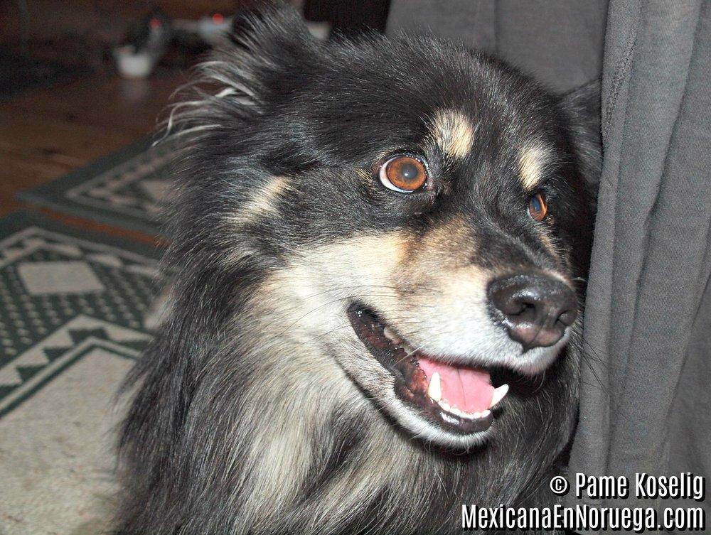Finnish Lapphund _ Pame Koselig _ Mexicana en Noruega.jpg