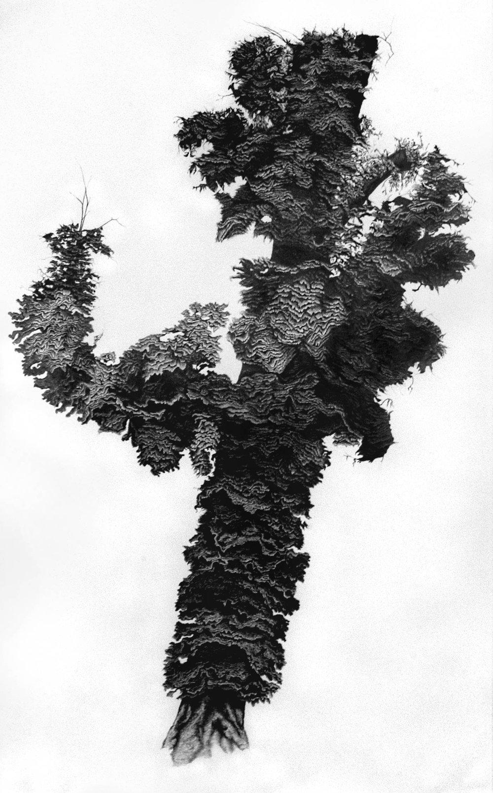 Aesculus Hippocastanum II, Pencil on paper, 266 x 168cm, 2005