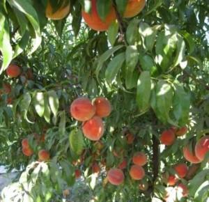 36 elberta-peaches-1_06-sm-300x290.jpg