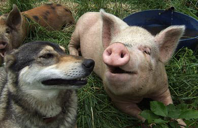 32 dogs and pigs.jpg