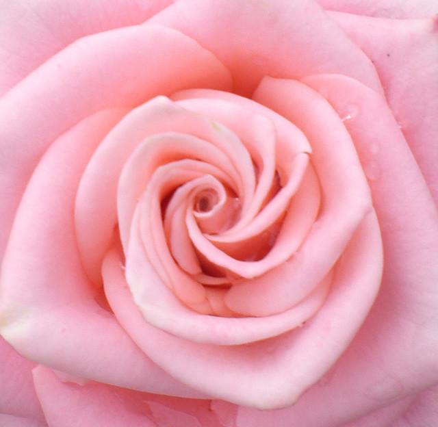 30 pink rose.jpg