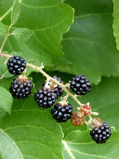 blackberries.jpg