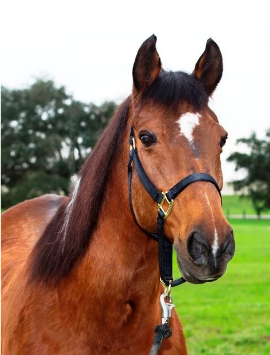 High Noon - High Noon is a Dutch Warmblood Gelding. His coat is Bay and he stands 15/2 hands high. High Noon weighs about 1160 pounds and his favorite treat is carrots. High Noon was born in 2000 and has served in the New Orleans Mounted Unit since 2011.Fun Fact: High Noon has become one of the best police horses in our barn. He is fearless and remains calm through the worst conditions, his first major event with NOPD was goal post security during the Sugar Bowl in the Superdome along with several other horses. His father, a registered Dutch Warmblood stud just became part of the NOPD Mounted breeding program.