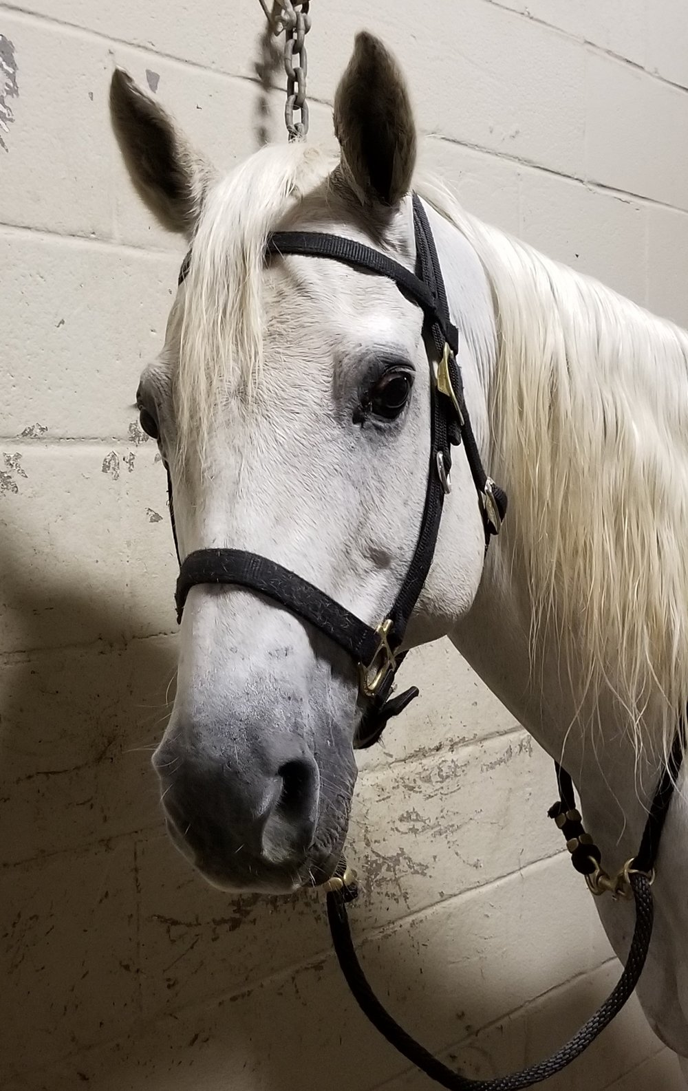 J.C. - J.C. is a Quarter Horse Gelding . His coat is Grey and he stands 16 hands high. J.C. weighs about 1300 pounds and his favorite treat is unknown at this time. J.C. was born in 2005 and has served in the New Orleans Mounted Unit since 2017.Fun Fact: J.C. is another donation by Mr. Coleman, who has been very generous to the Mounted Unit. He is new to the unit and hasn't yet made it to the street but he is being put through the preliminary evaluation and seems to have a solid foundation so we believe he will be ready for patrol very quickly.