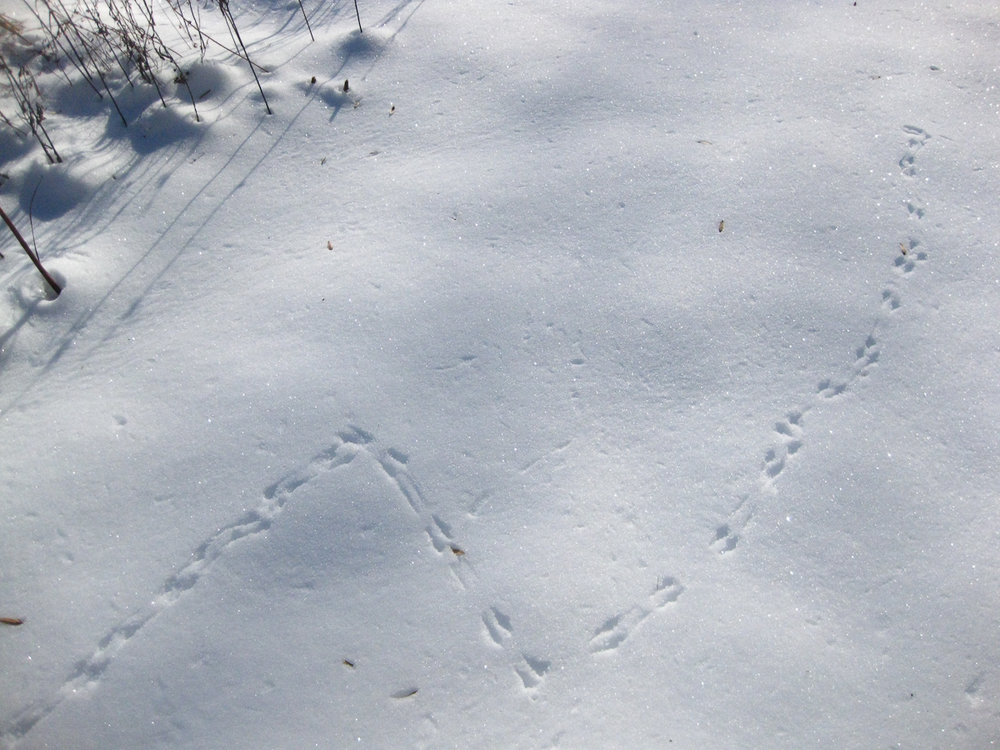 The tracks of birds are among my favorites to follow.