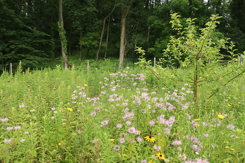 Our orchard with a native meadow understory - Wild Bergamot in bloom.