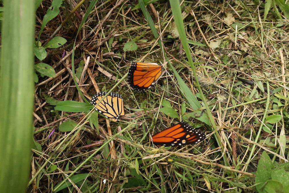 Mackow_monarch-4748.jpg