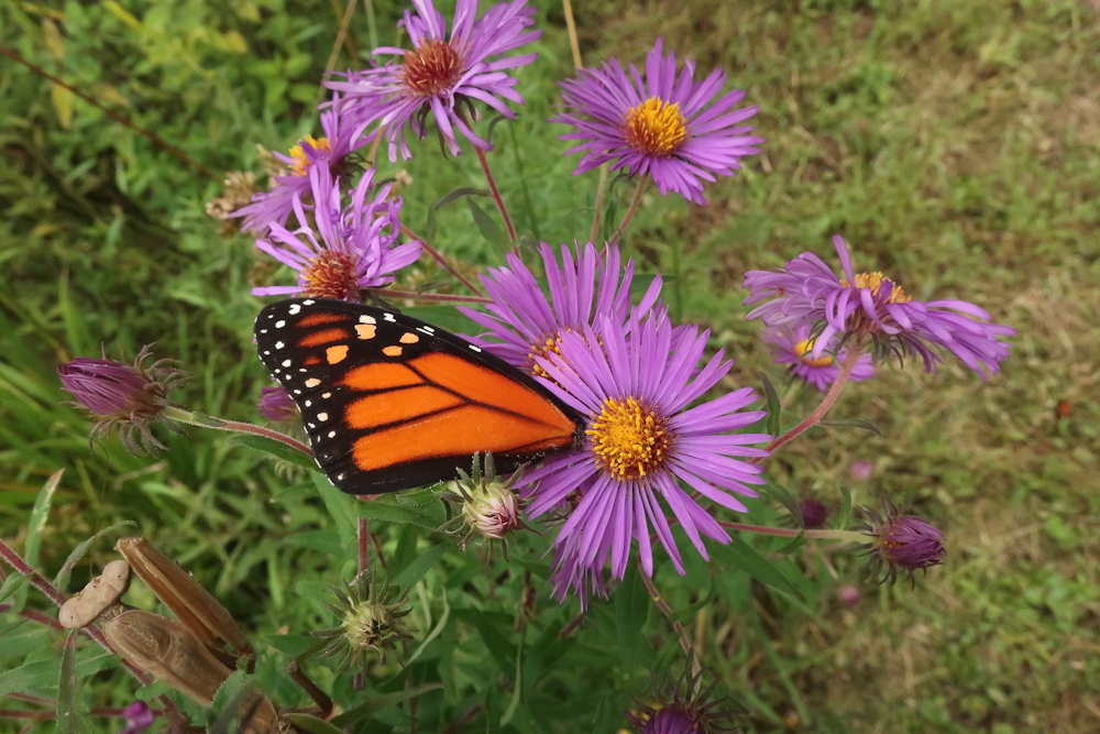 Mackow_monarch-4755.jpg
